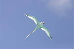 The Bermuda Longtail