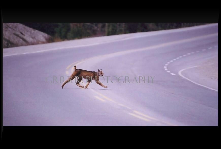 Lynx crossing highway