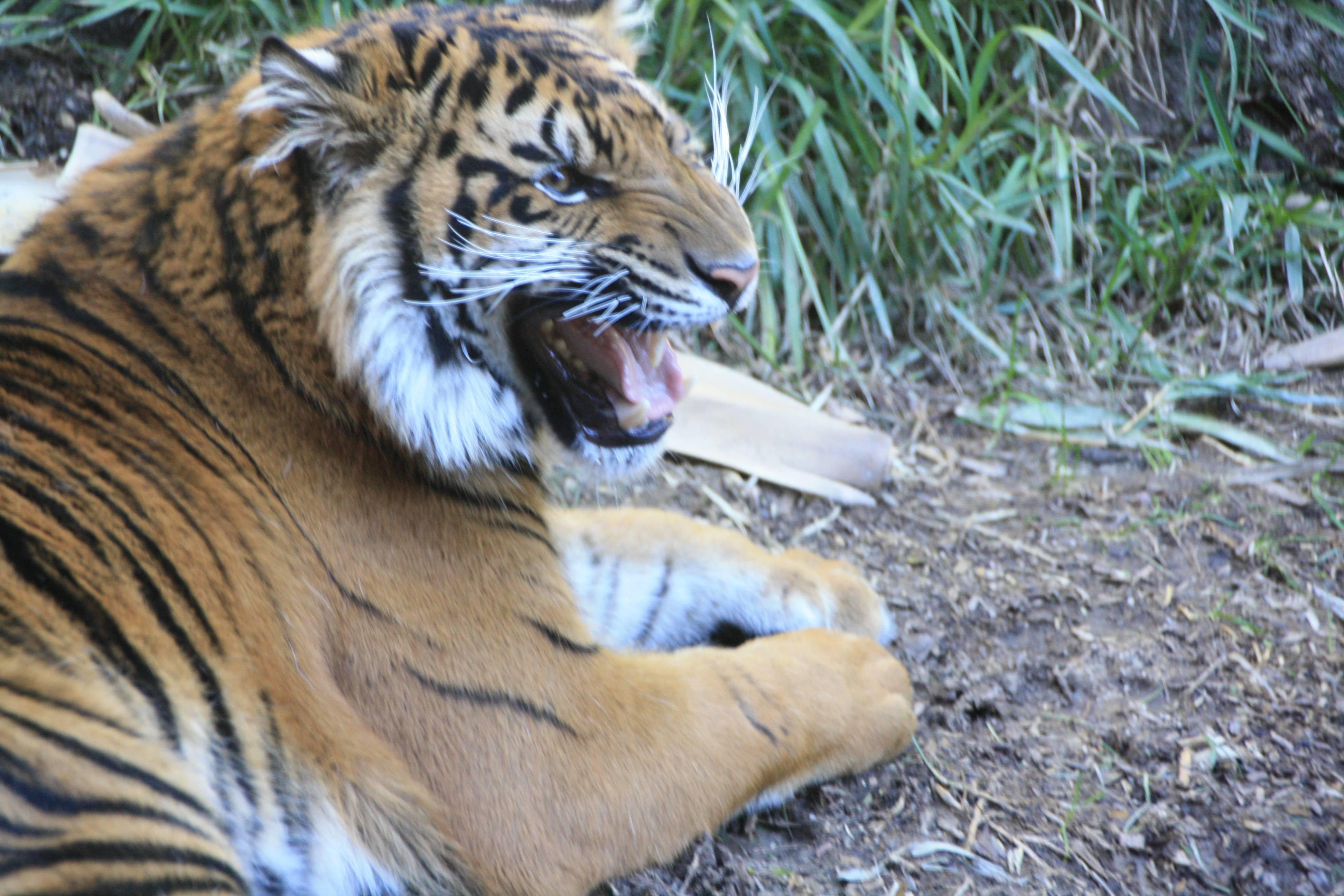 Tiger at San Diego Safari Park in Escondido CA