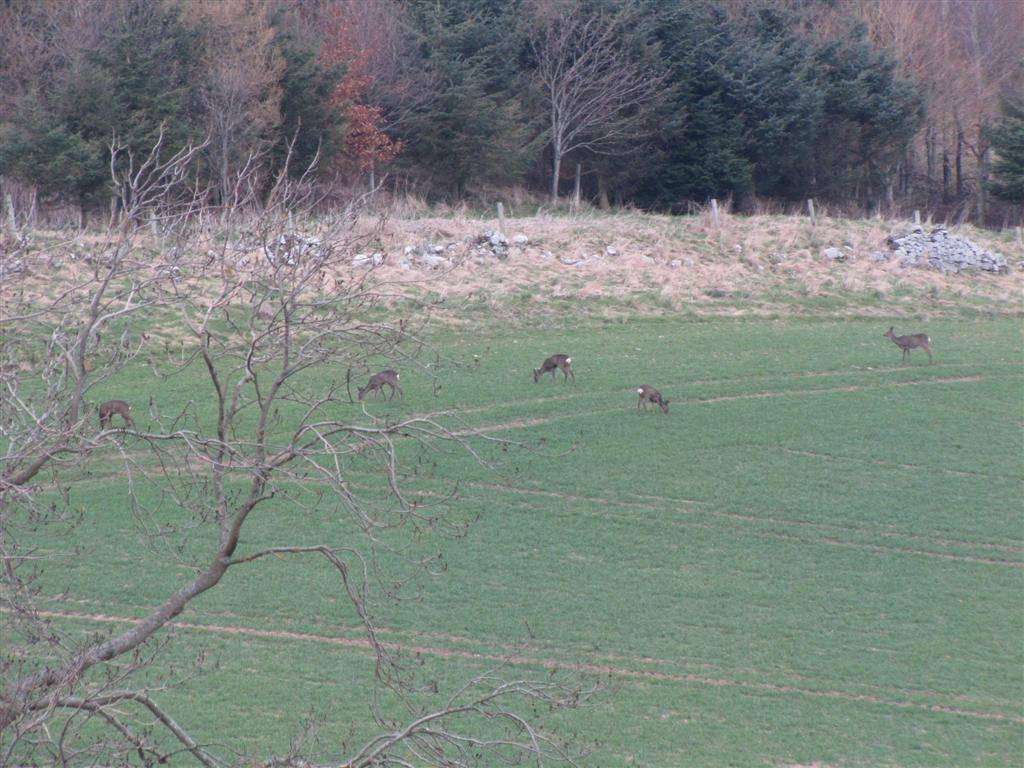 Roe deer Northumberland April