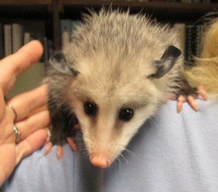 Juvenile Opossum 2