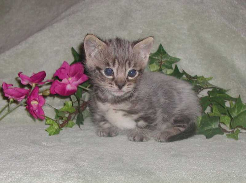 My first Munchkin kitten, a Bengal Munchkin brown spotted boy, now in Ariz.