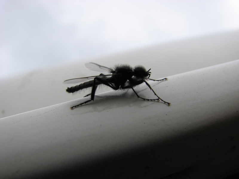 Bibio marci , St cuthberts fly