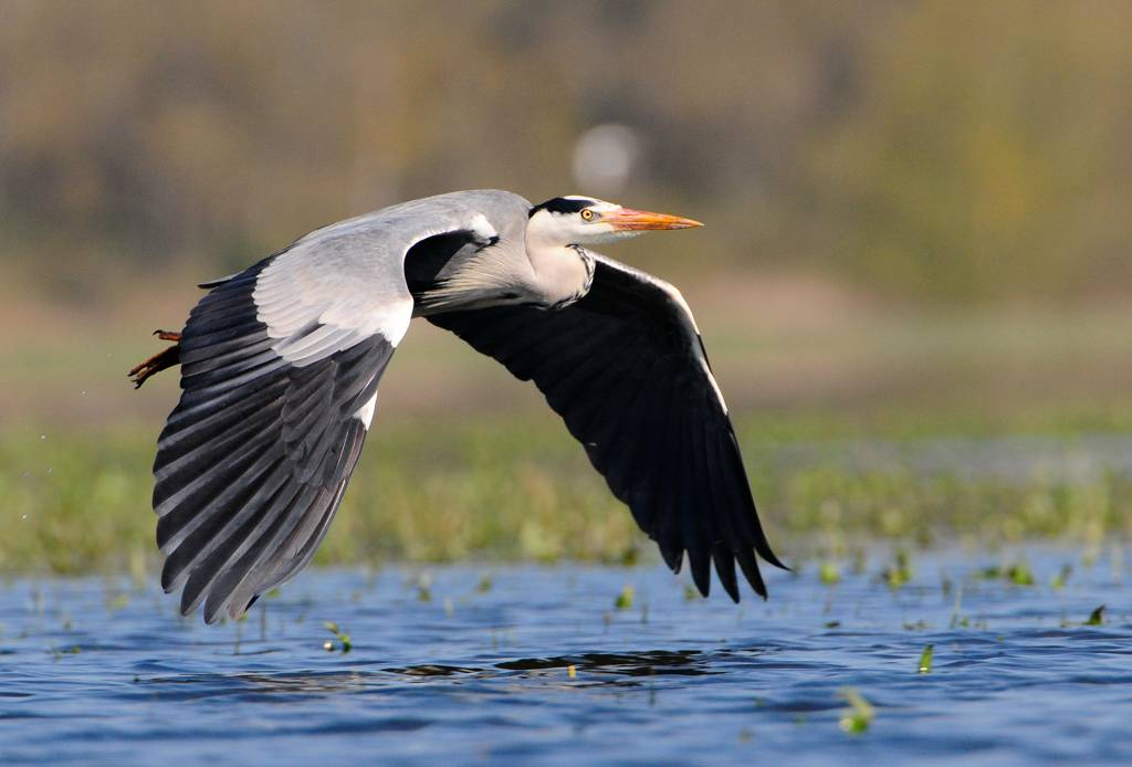 Héron cendré - Great blue heron