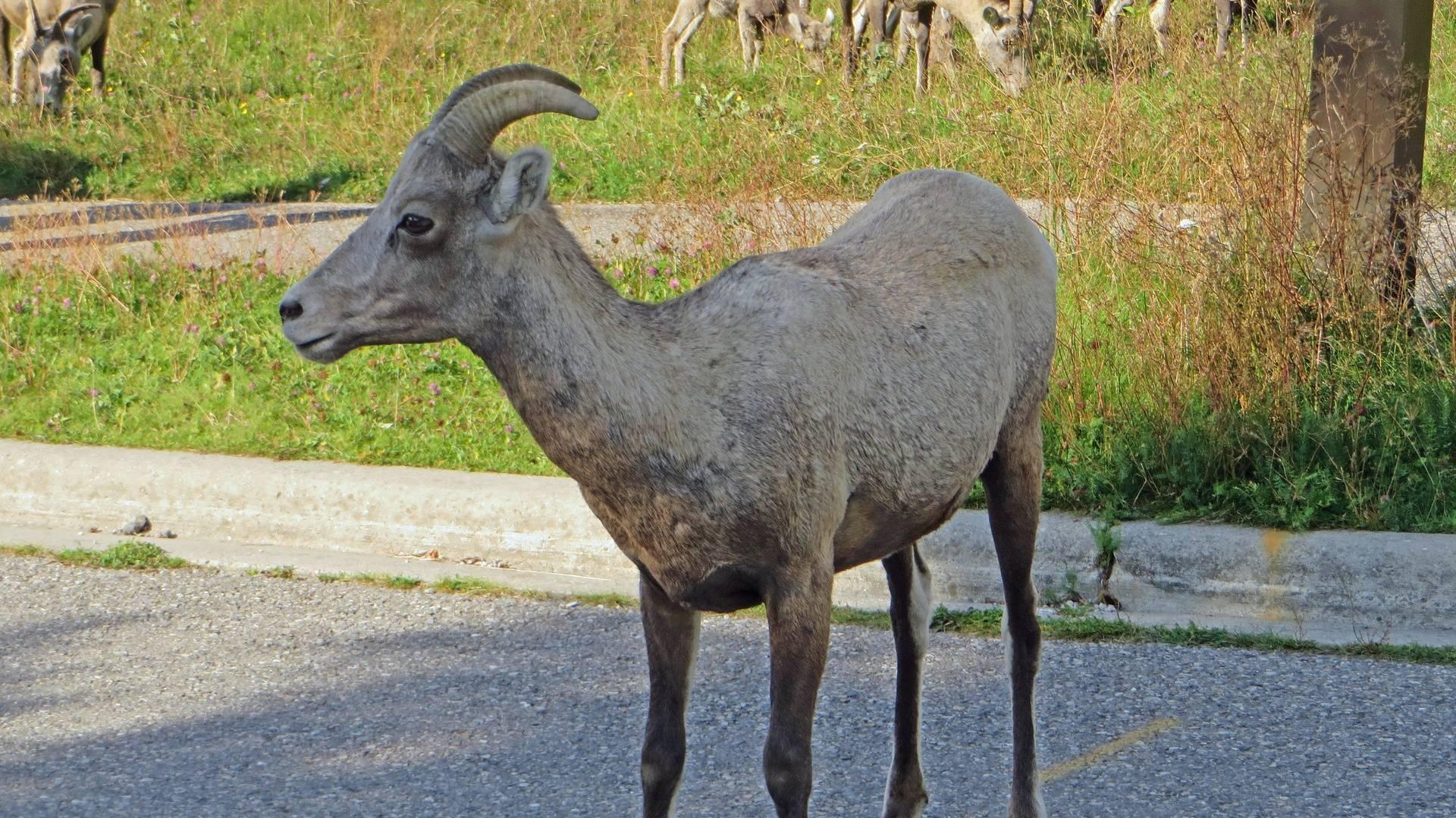 Goat at Miette Hot Springs, Jasper