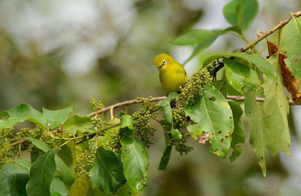 Yellow White-eye