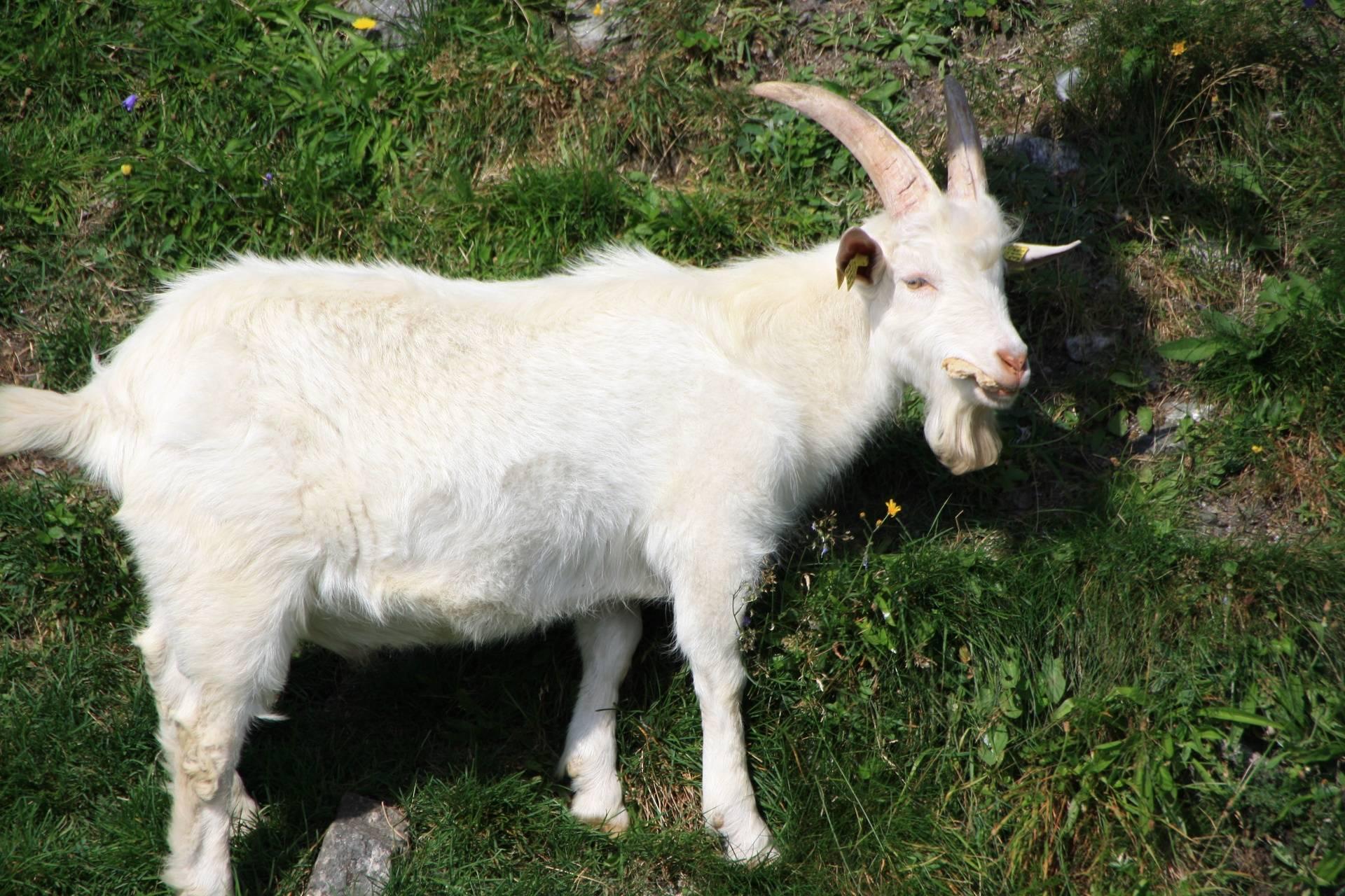 Goat on Fjord Tour, Stavenger,Norway