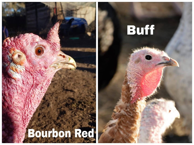 Comparison of eye colour: Bourbon Red Vs Buff