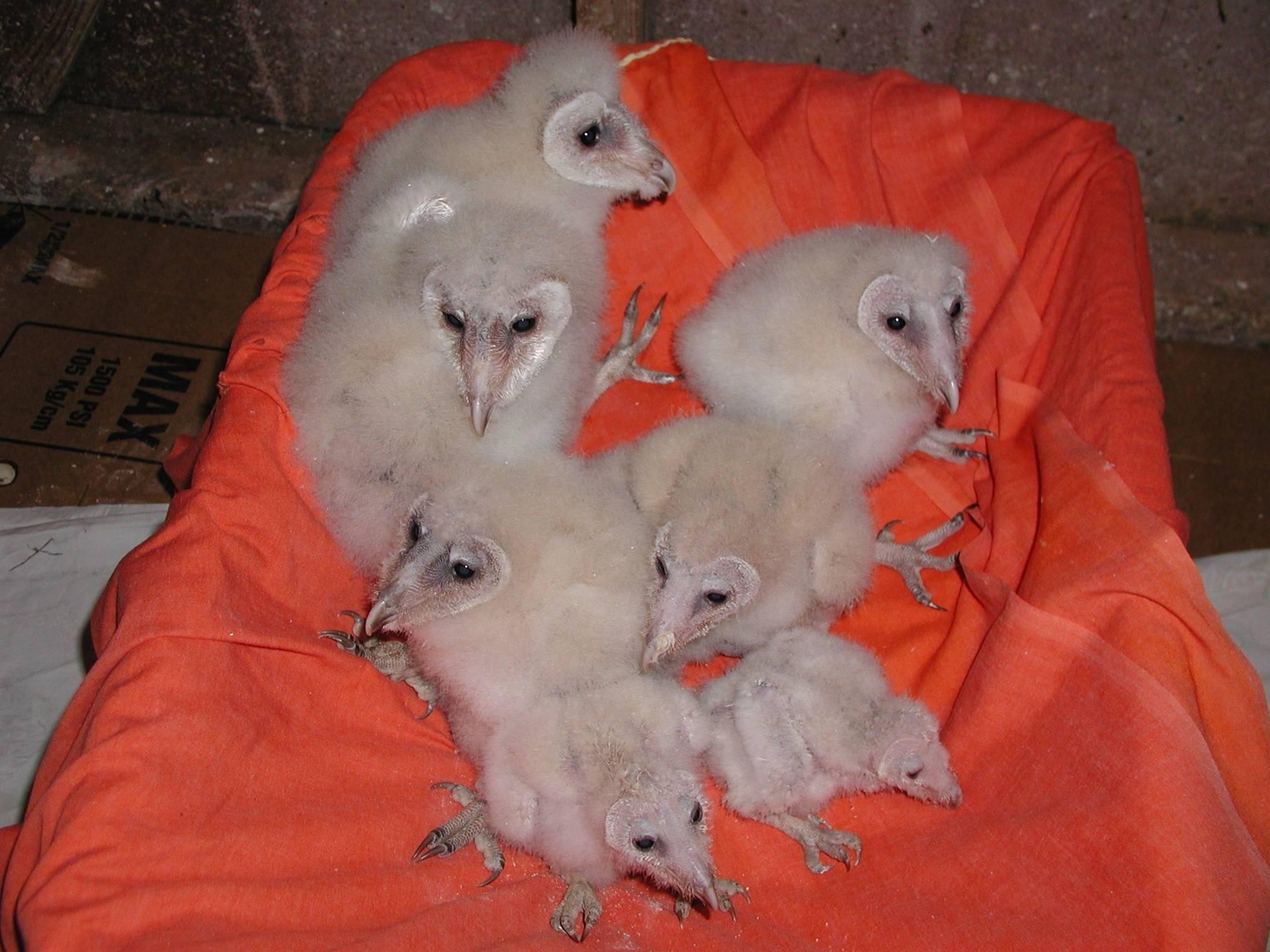 Common Barn Owl chicks