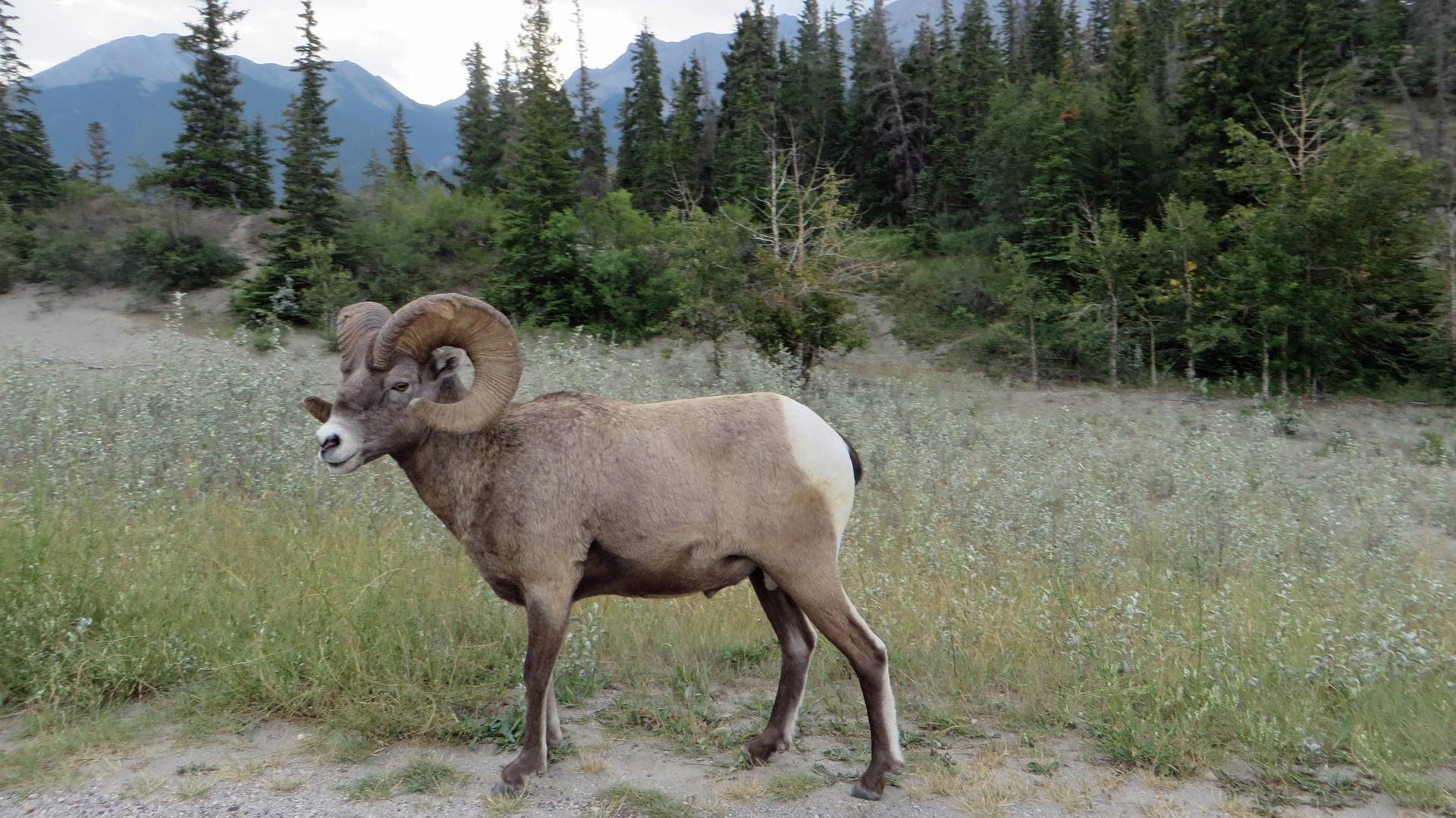 Big Horned Sheep on road from Jasper to Edmonton