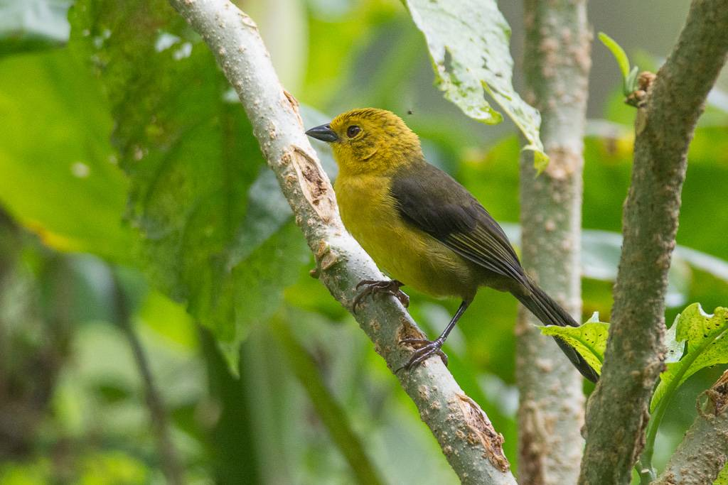 Yellow-headed Brushfinch