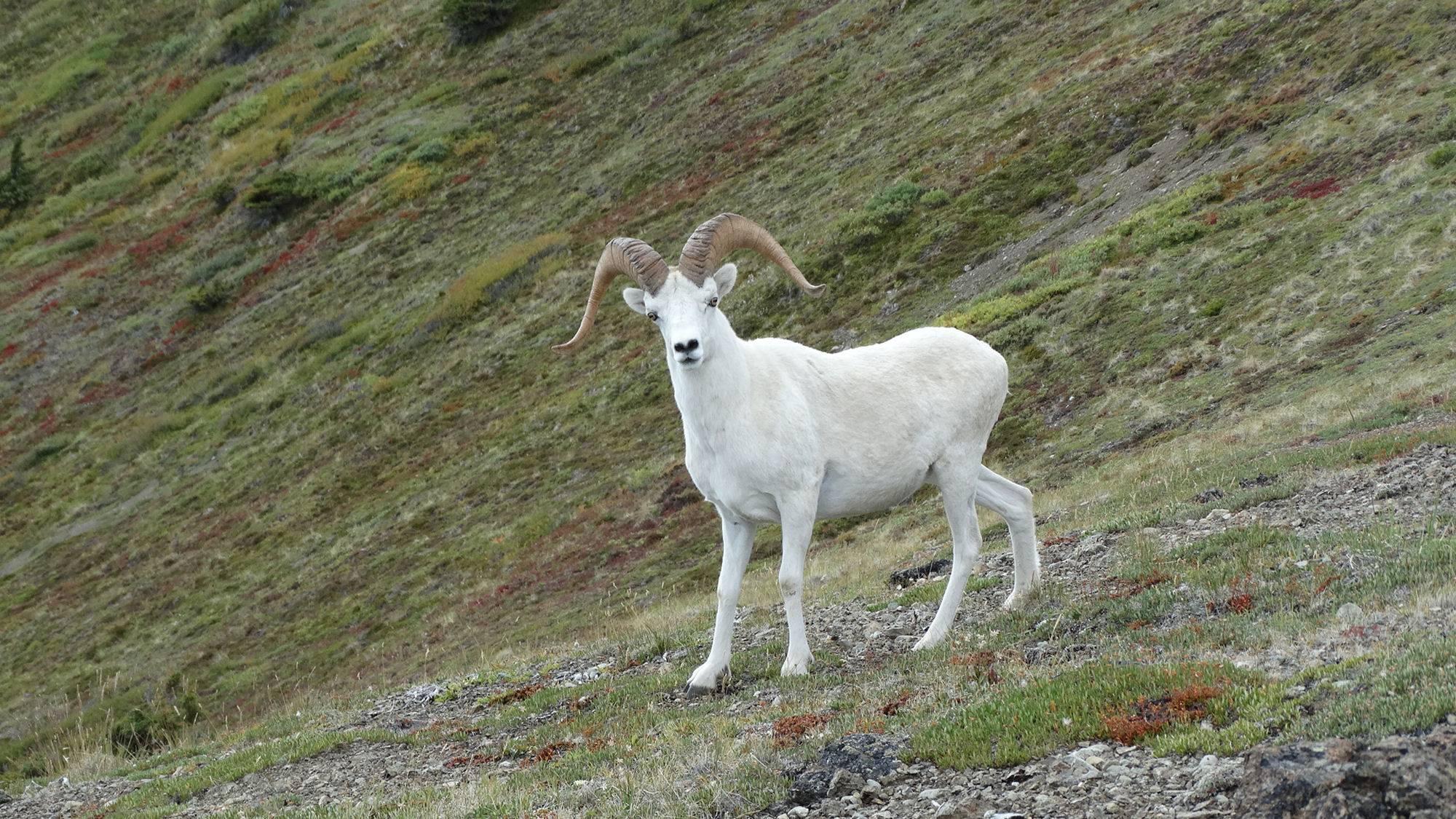 Dall ram in the Chugach