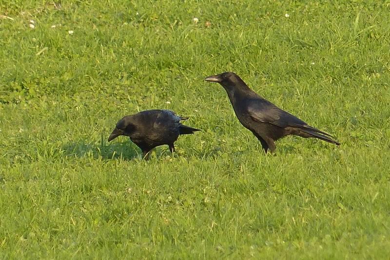Carrion Crow  (Corneille noire)