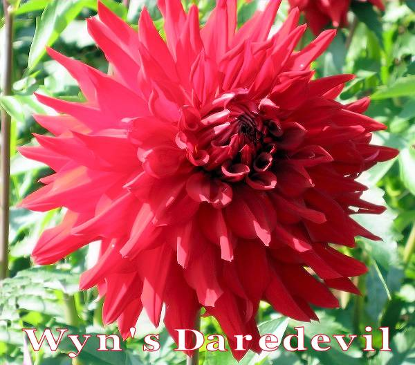 Wyn's Daredevil-A SC Dark Red