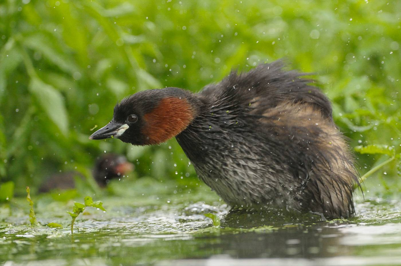 Grèbe castagneux - Little grebe