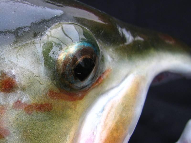 "Atlantic Salmon ""transitional"""
