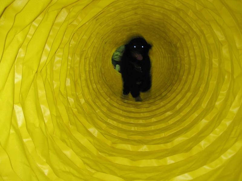 Phoenix running through an agility tunnel at her first training class.  10 weeks old.