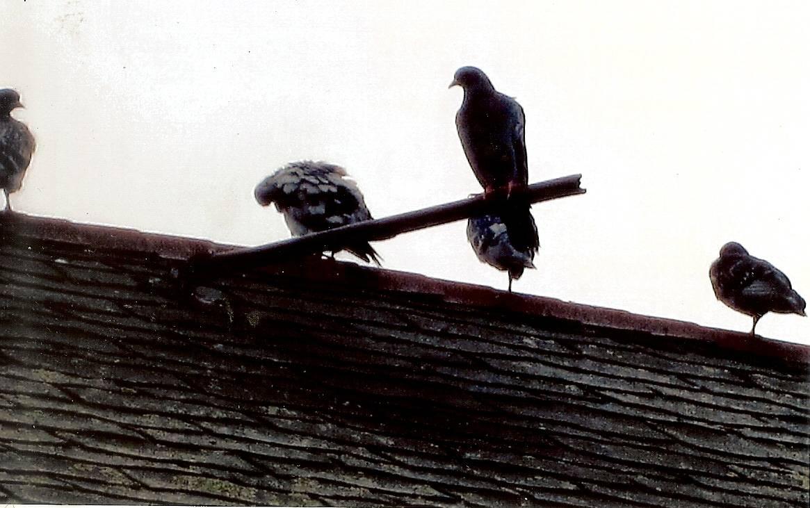 Pigeons perch