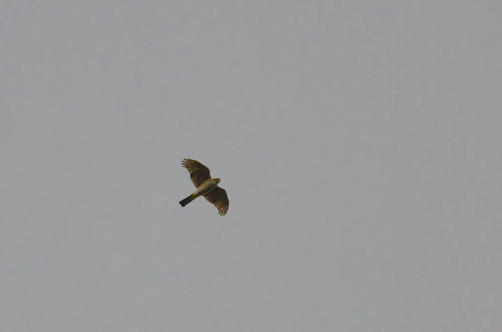 Sparrowhawk (Epervier d'Europe)