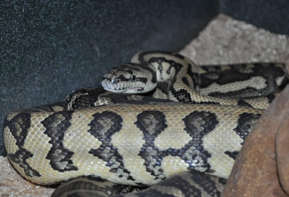 Coastal Jag Carpet Python Breeding