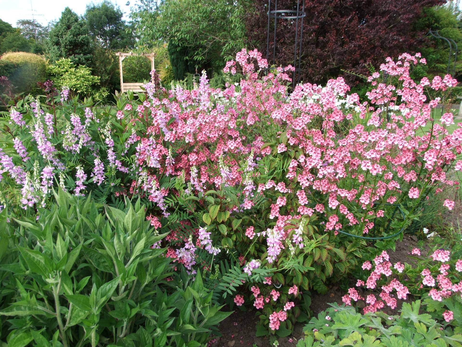 Diascia personata flowers for weeks