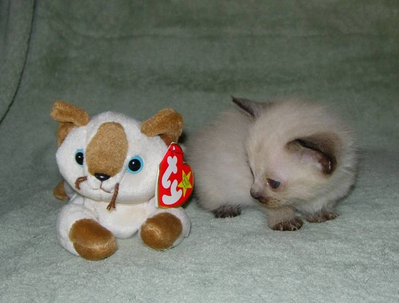 """""""Piccolina"""" Mom Sassy's tiny seal pt. shorthair Munchkin girl (one of 5 in that litter)!"""