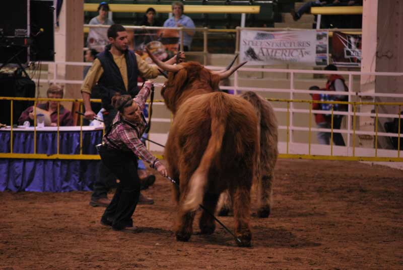Senior Heifer Championship