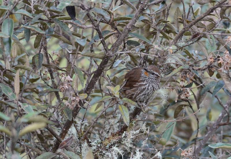 Line-fronted Canastero