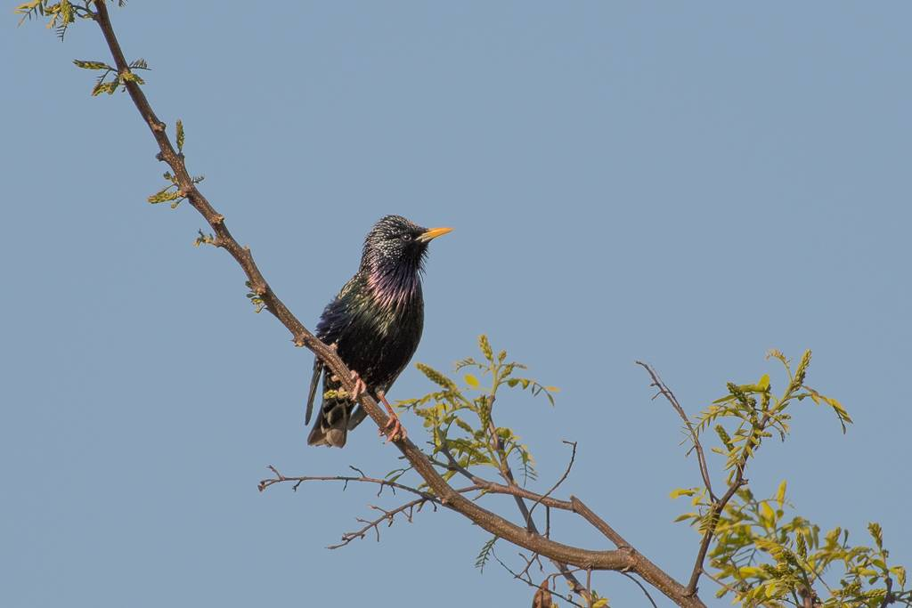 European Starling (Etourneau sansonnet)
