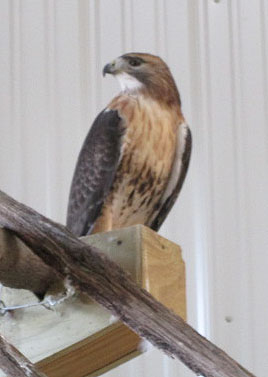 Red-tailed Hawk after