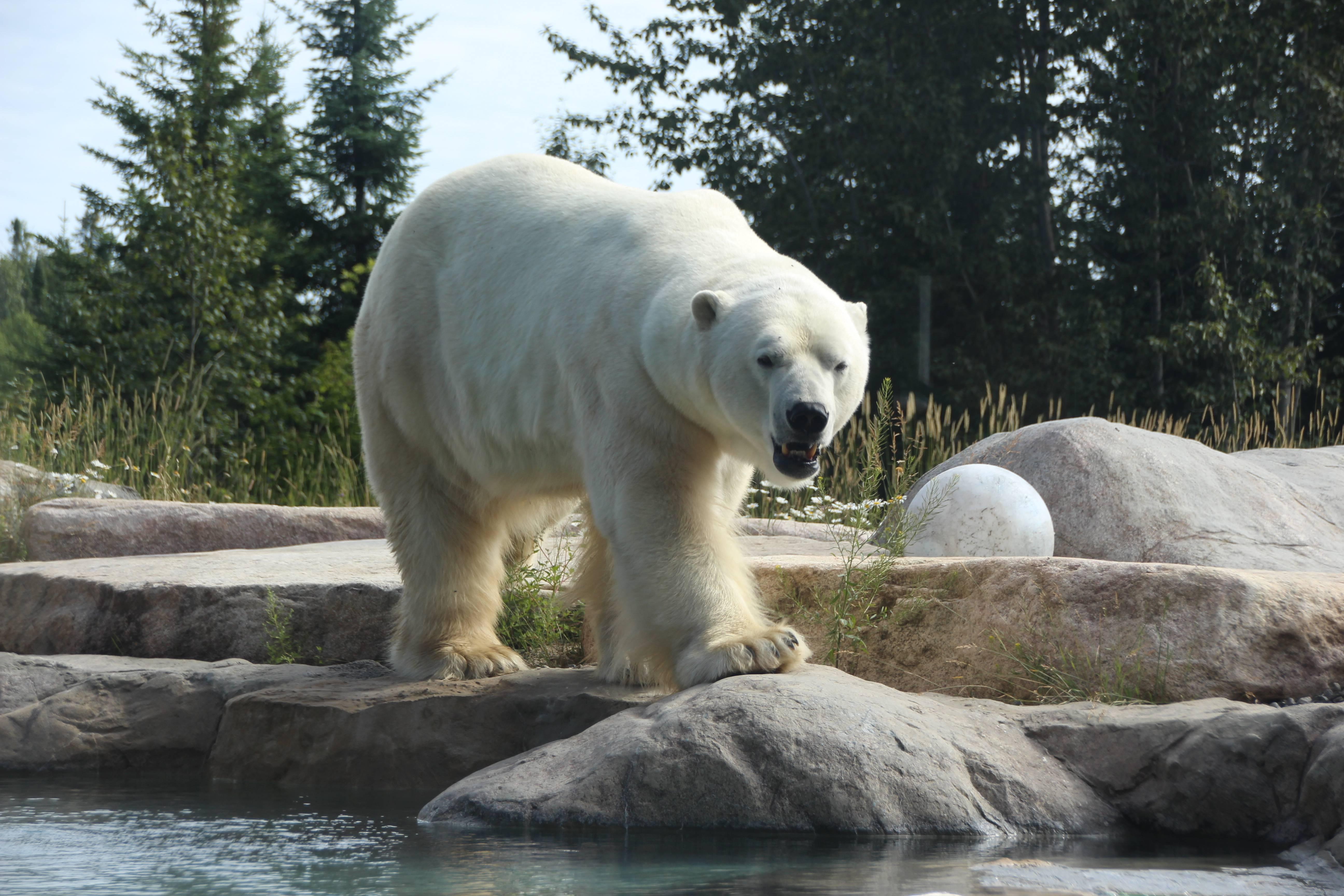 Polar bear in Cochrane