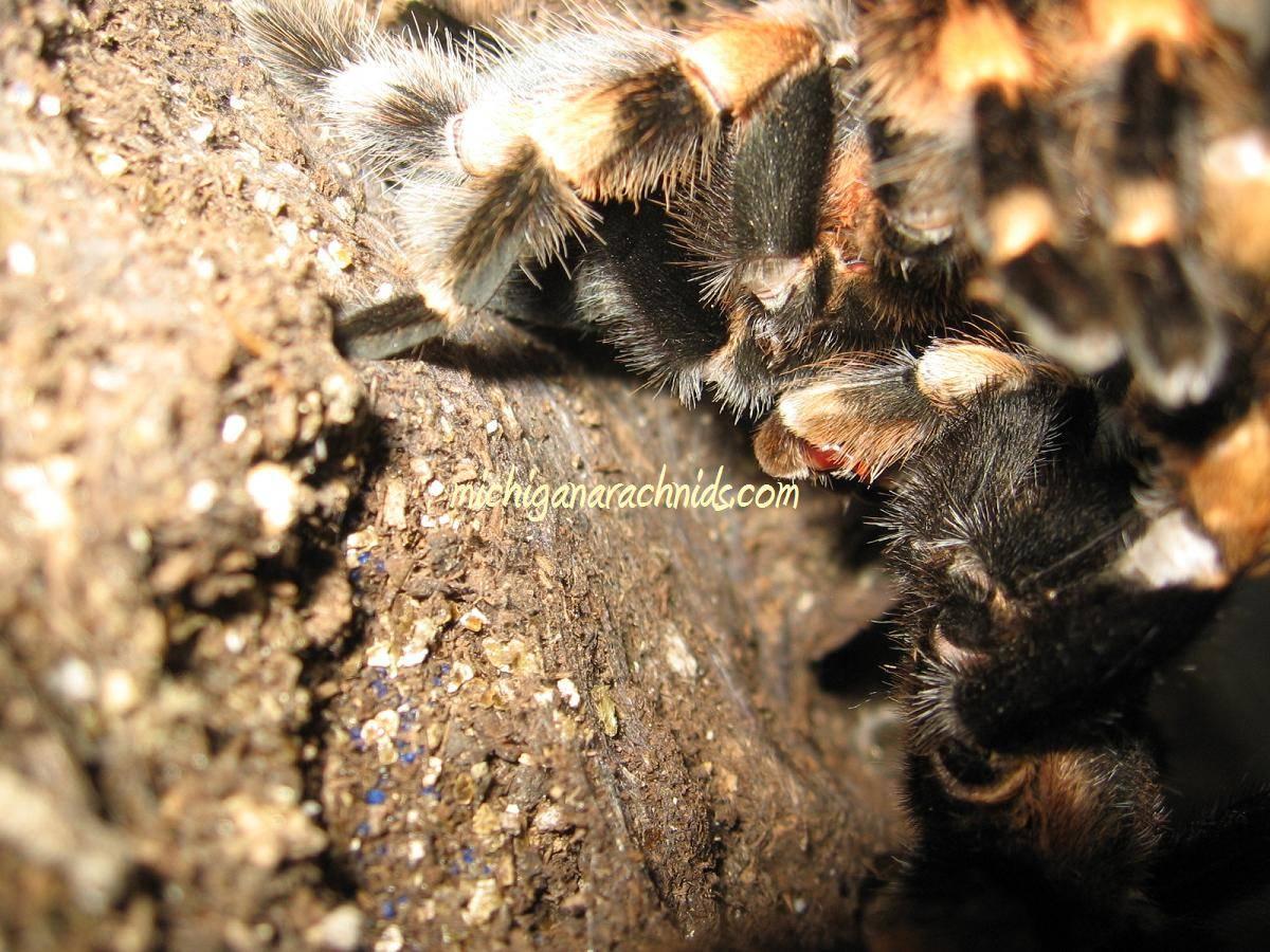 B.smithi breeding 2011 (5)
