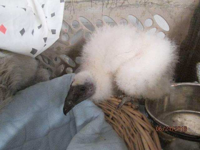 Baby Turkey Vulture