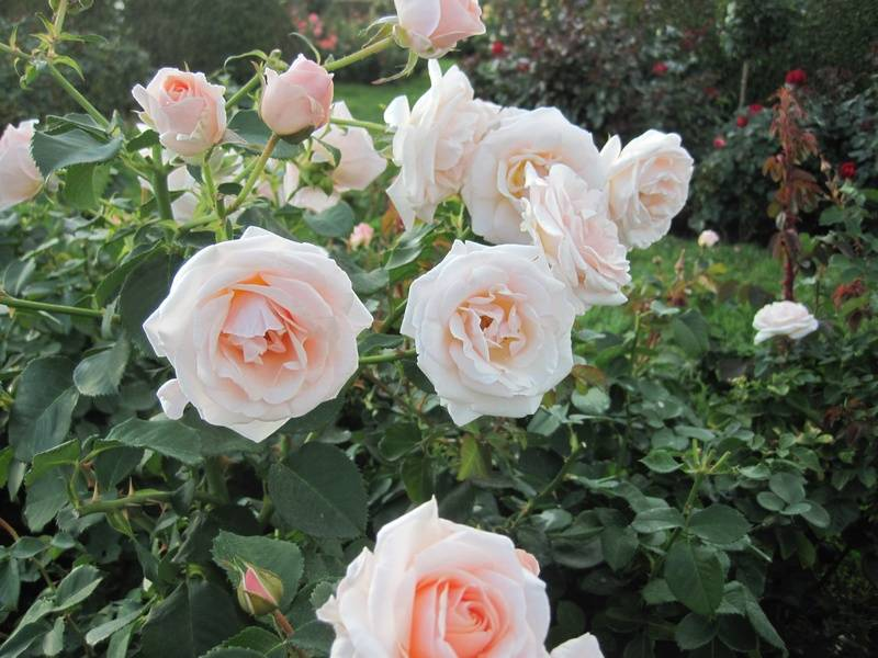 Roses at Leif Erikson Rose Garden 2