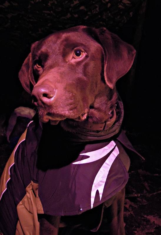 Harpo - happy in his coat, bathed in red from my head torch