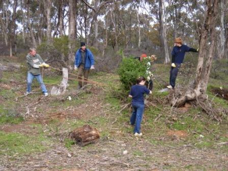 African Boxthorn Control
