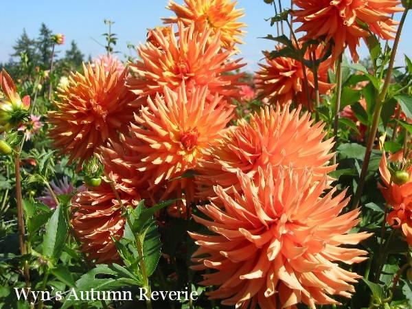 Wyn's Autumn Reverie B C Lt Bl O/Y