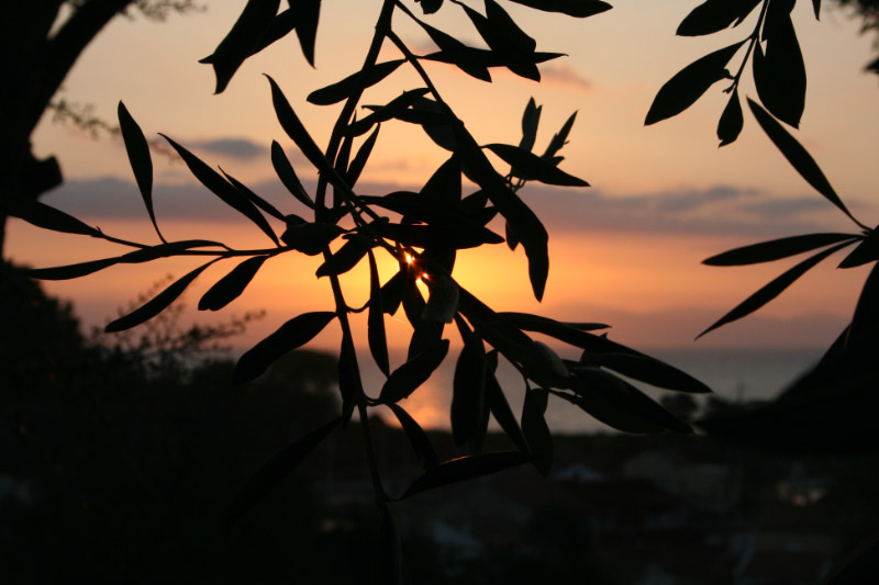 Sunset through the olives