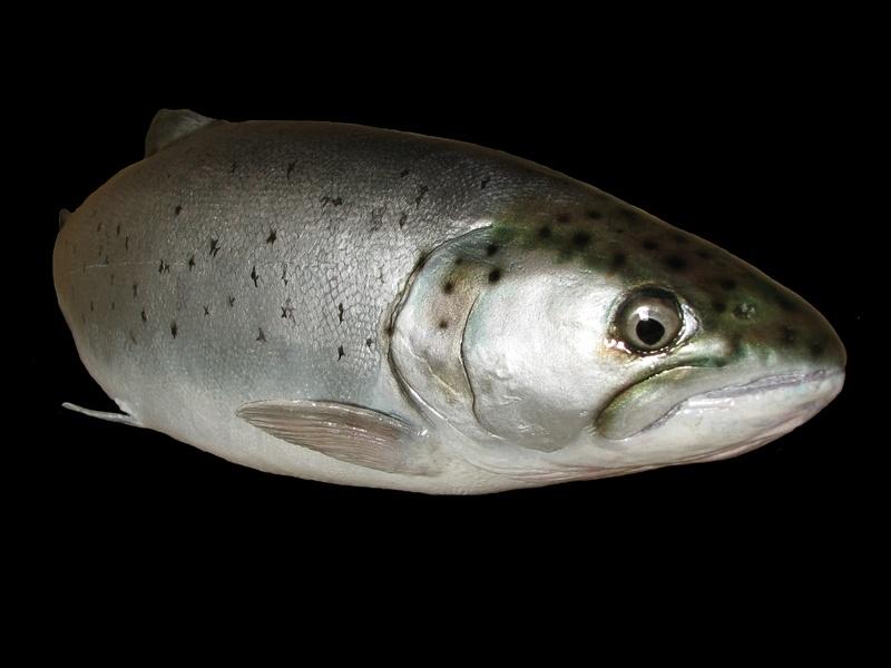 """22"""" sea trout"""