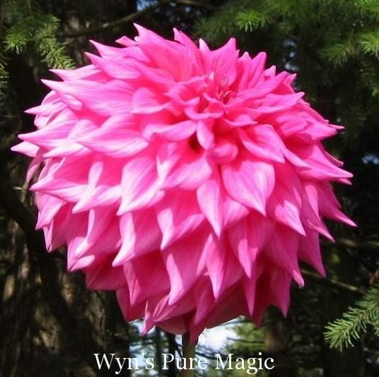 Wyn's Pure Magic- A ID LtBl Pr/W-