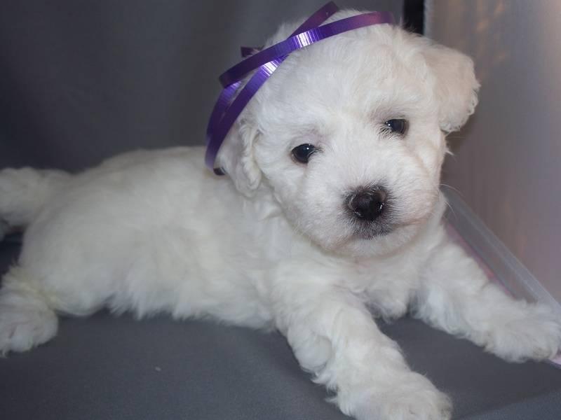 Bichon Puppy Love!, P.O. Box 95963, Hoffman Estates, Illinois, 60195, United States