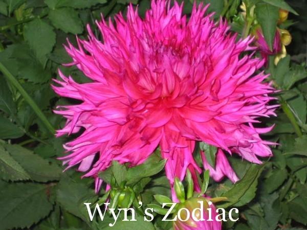 Wyn's Zodiac B Lac Dk Red