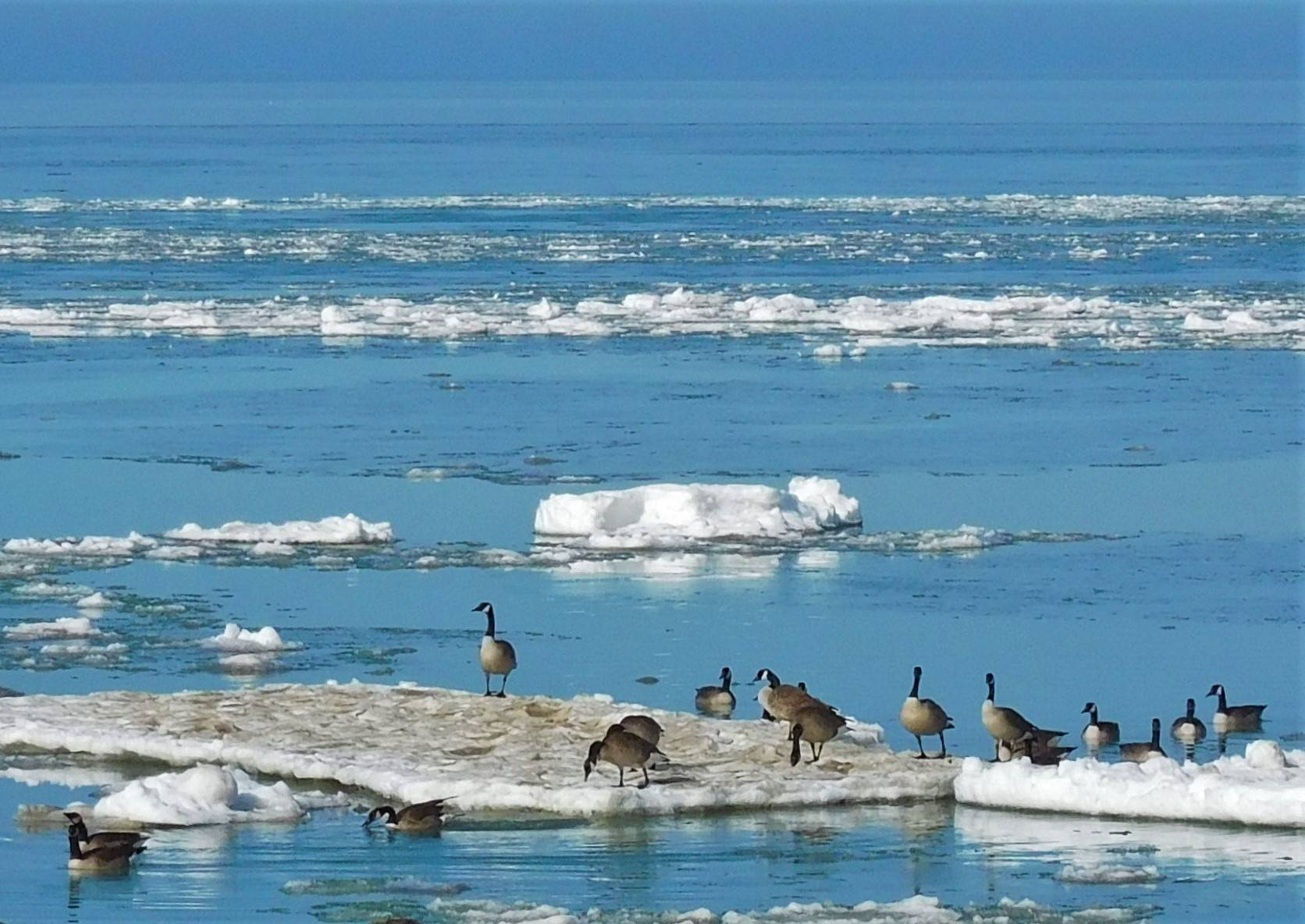 Geese On Erie Ice