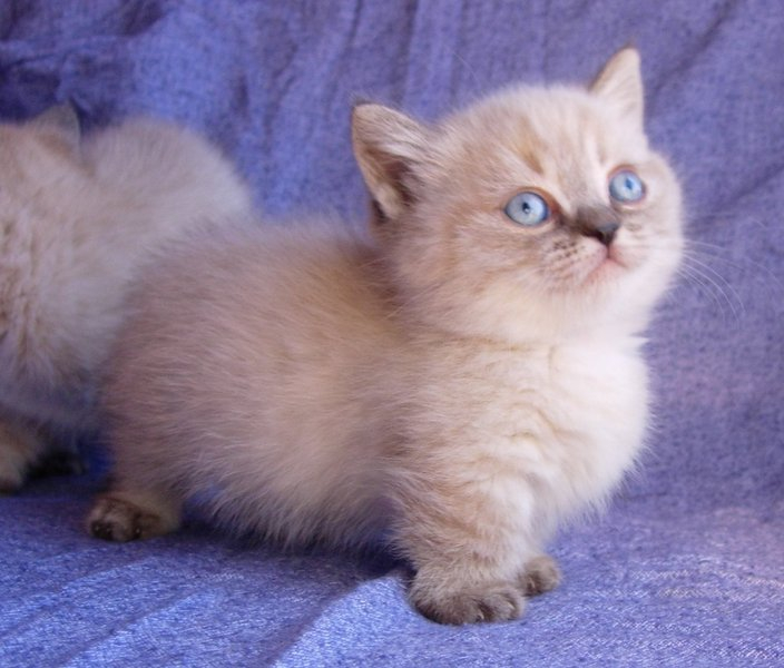 Diva's little Napoleon Ragdoll/Persian seal pt. longhair boy