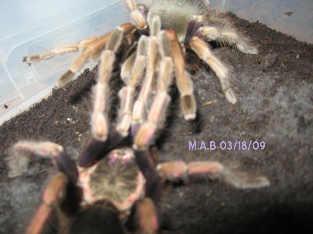 Pamphobeteus ultramarinus Breeding 2
