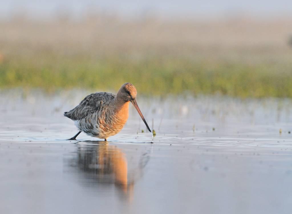 Migration mars - Migratory godwit
