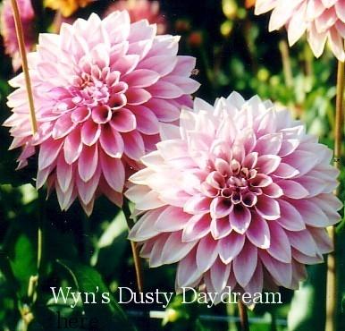 Wyn's Dusty Daydream-B Fd Lav   N/A