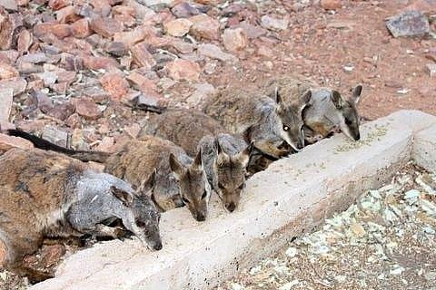 Young kangaroos