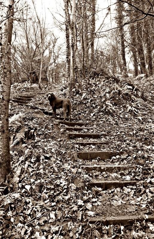 Vicious but beatiful steps cutting up through Oxwich Wood
