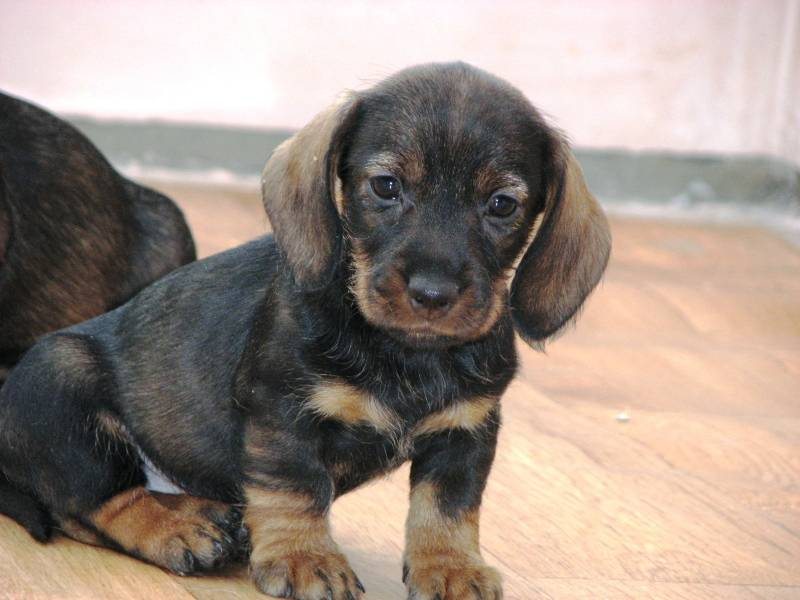 hairy pup 6wks